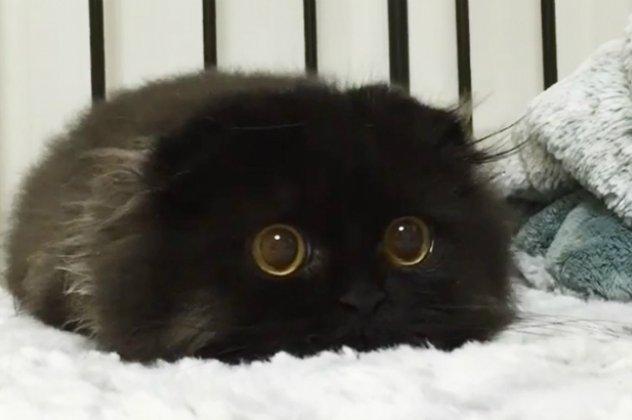 ddfa3f3b7a7c Αυτός είναι ο γάτος ο Gimo  Έχει τα μεγαλύτερα μάτια γάτας στον ...