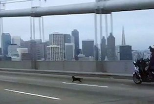 Αριστοκρατικό τσιουάουα σε καταδίωξη θρίλερ από αστυνομικό στους δρόμους του Σαν Φρανσίσκο - Κυρίως Φωτογραφία - Gallery - Video