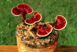 Made in Greece αυτό το κόκκινο μανιτάρι της αθανασίας φυτρώνει στην ελληνική γη (ΦΩΤΟ) - Κυρίως Φωτογραφία - Gallery - Video