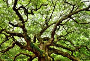 Που βρίσκεται το γηραιότερο δένδρο στην Ευρώπη - Ένα ελληνικό στην Πίνδο άνω των 1000 ετών  - Κυρίως Φωτογραφία - Gallery - Video
