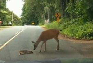 Τρυφερή μαμά! Η ελαφίνα σώζει το μικρό ελαφάκι της όταν πέφτει στη μέση του δρόμου (ΒΙΝΤΕΟ) - Κυρίως Φωτογραφία - Gallery - Video