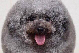 Ο σκυλάκος πήγε στο κομμωτήριο με την κυρία του & κουρεύτηκε... σκαντζόχοιρος! (ΦΩΤΟ) - Κυρίως Φωτογραφία - Gallery - Video