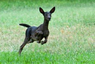 Δείτε το μαύρο ελάφι, ένα από τα πιο σπάνια ζώα του πλανήτη - Σε τι οφείλεται το χρώμα του (Φωτό) - Κυρίως Φωτογραφία - Gallery - Video