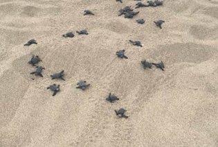 Τα πρώτα χελωνάκια καρέτα-καρέτα έκαναν την εμφάνισή τους στα Φαλάσαρνα - Κυρίως Φωτογραφία - Gallery - Video