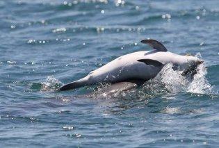 Το Δελφινάκι κολυμπούσε στα ρηχά κι έκανε κόλπα σε παραλία της Σκύρου (Βίντεο) - Κυρίως Φωτογραφία - Gallery - Video