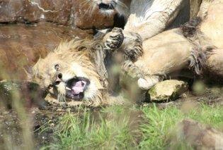 Oι λέαινες επιτίθενται για να σκοτώσουν το αρσενικό λιοντάρι - Βίντεο που κόβει την ανάσα     - Κυρίως Φωτογραφία - Gallery - Video