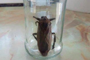 Αυτό είναι το σαρκοφάγο έντομο με το ισχυρό δάγκωμα που εντοπίστηκε και στη Ροδόπη και στη Λαμία (Βίντεο) - Κυρίως Φωτογραφία - Gallery - Video