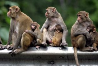Πίθηκοι λιθοβόλησαν με βροχή από τούβλα και σκότωσαν 72χρονο στην Ινδία - Κυρίως Φωτογραφία - Gallery - Video
