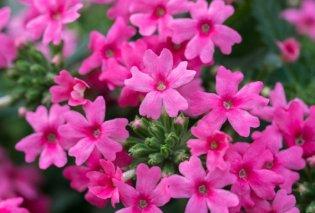 10 λουλούδια που ανθίζουν το φθινόπωρο - Τα μυστικά του κήπου - Κυρίως Φωτογραφία - Gallery - Video