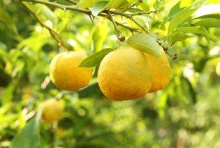 """Γιούζου: Το νέο υπέρ-φρούτο της Ιαπωνίας, το αποκαλούν το """"σέξι φρούτο"""" -  Ποιες είναι οι ιδιότητες του; - Κυρίως Φωτογραφία - Gallery - Video"""