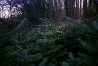 The Story of a Christmas tree: Καρέ - καρέ η σύντομη ζωή και το τέλος ενός πανέμορφου Χριστουγεννιάτικου δέντρου! - Κυρίως Φωτογραφία - Gallery - Video