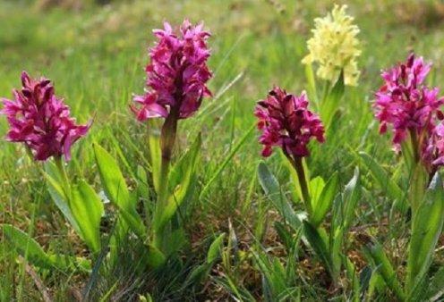 Made in Greece, οι ορχιδέες της Πίνδου: €120 το κιλό πωλείται το πολύτιμο μοβ φυτό - Κυρίως Φωτογραφία - Gallery - Video