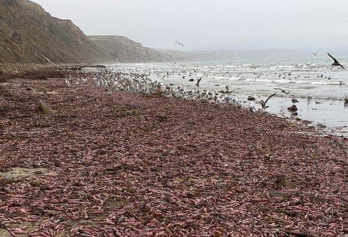 Δεν είναι αστείο: Ξαφνικά η παραλία γέμισε χιλιάδες ψάρια-πέη - Τα σκουλήκια πέφτουν βροχή (φώτο-βίντεο) - Κυρίως Φωτογραφία - Gallery - Video