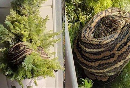 """Τέτοιο """"στολίδι"""" να μη.... σου τύχει: Επέστρεψε στο σπίτι της & βρήκε έναν πύθωνα τυλιγμένο στο χριστουγεννιάτικο δέντρο (φώτο) - Κυρίως Φωτογραφία - Gallery - Video"""