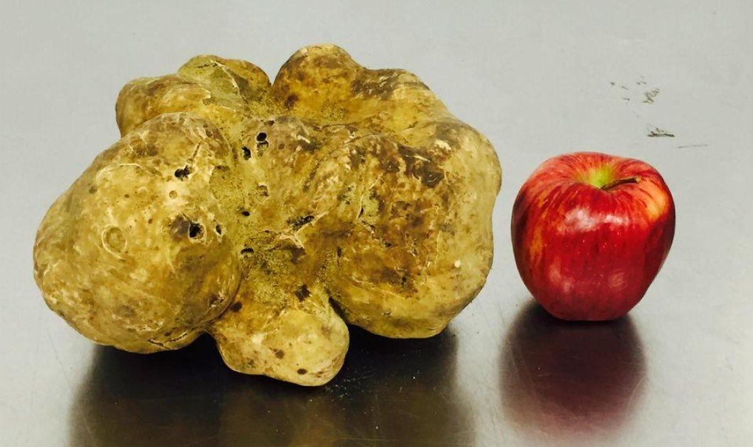 Δείτε τη σπανιότατη λευκή τεράστια τρούφα - Ζυγίζει 2 κιλά και μπήκε σε δημοπρασία! - Κυρίως Φωτογραφία - Gallery - Video