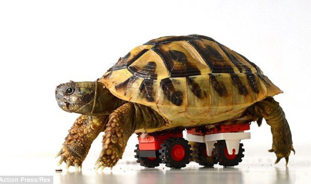 Αυτή χελωνίτσα είναι πραγματικά «παιχνιδιάρα»: Περιφέρεται στον χώρο της με την βοήθεια των... lego! - Κυρίως Φωτογραφία - Gallery - Video
