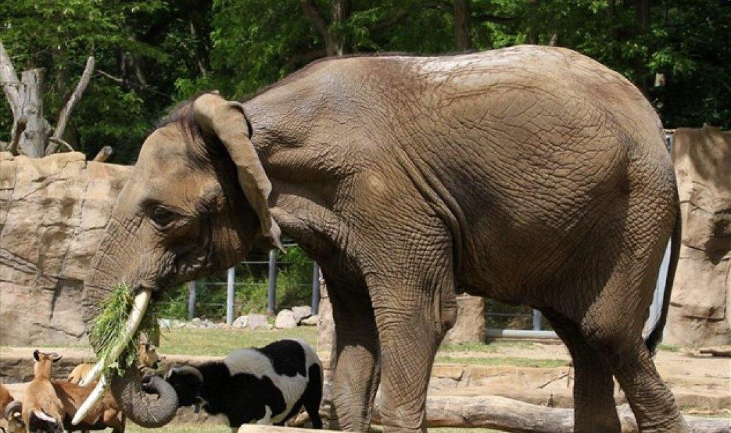 Έξαλλος ελέφαντας πάτησε ζευγάρι νεονύμφων που τραβούσε φωτογραφίες με φλας! - Κυρίως Φωτογραφία - Gallery - Video