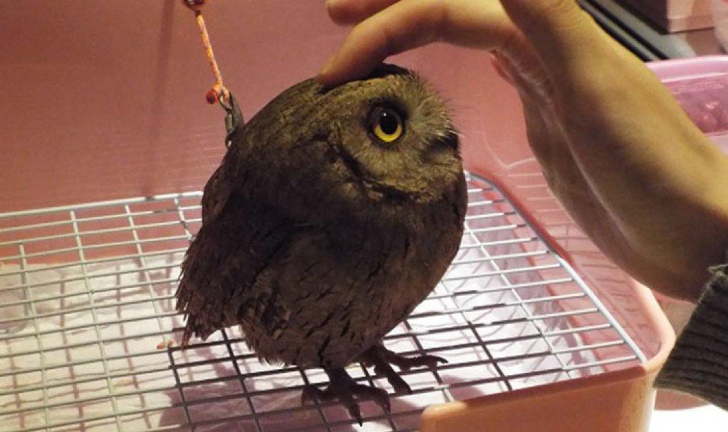 Ένα Café με... κουκουβάγιες! Γνωρίστε το «Owl Cafe» με τα συμπαθητικά νυχτόβια πτηνά - σύμβολα της σοφίας - που θα σας κρατήσουν συντροφιά! - Κυρίως Φωτογραφία - Gallery - Video
