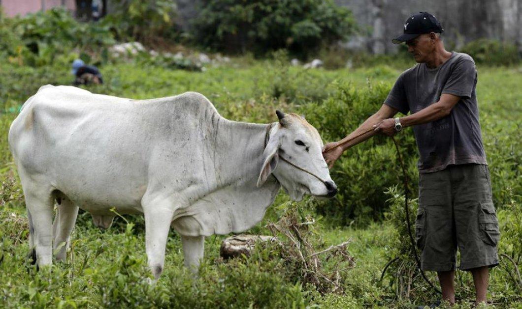 """Η θλιβερή ιστορία μιας αγελάδας που την βίασε ένας """"καλός ανθρωπος"""" & έμεινε έγκυος (φωτό)  - Κυρίως Φωτογραφία - Gallery - Video"""