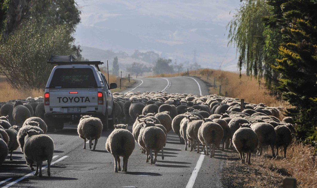 """Χιλή: Το απίθανο βίντεο της ημέρας: Απέραντη """"θάλασσα"""" από πρόβατα την στιγμή που διασχίζουν τον δρόμο - Κυρίως Φωτογραφία - Gallery - Video"""
