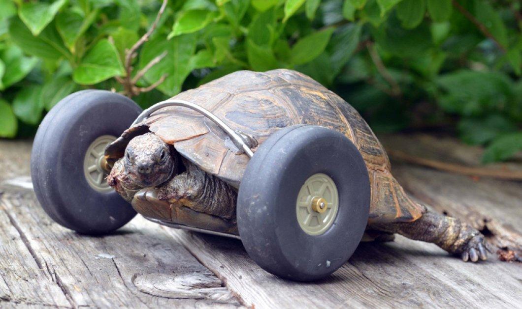 Το απόλυτο συγκινητικό story: Αρουραίοι έφαγαν τα πόδια χελώνας και της έβαλαν ρόδες οι ιδιοκτήτες της - Κυρίως Φωτογραφία - Gallery - Video