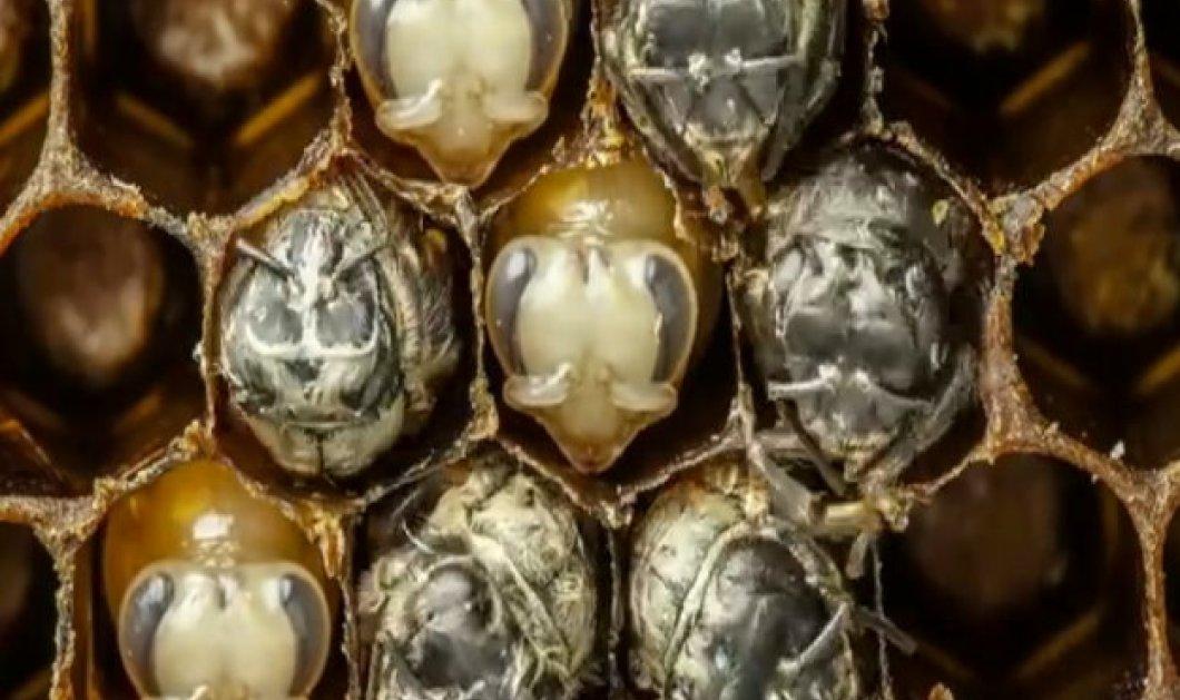 Το βίντεο της ημέρας: Οι 21 πρώτες ημέρες μιας μέλισσας μέσα σε 60 δευτερόλεπτα - Άκρως εντυπωσιακό - Κυρίως Φωτογραφία - Gallery - Video