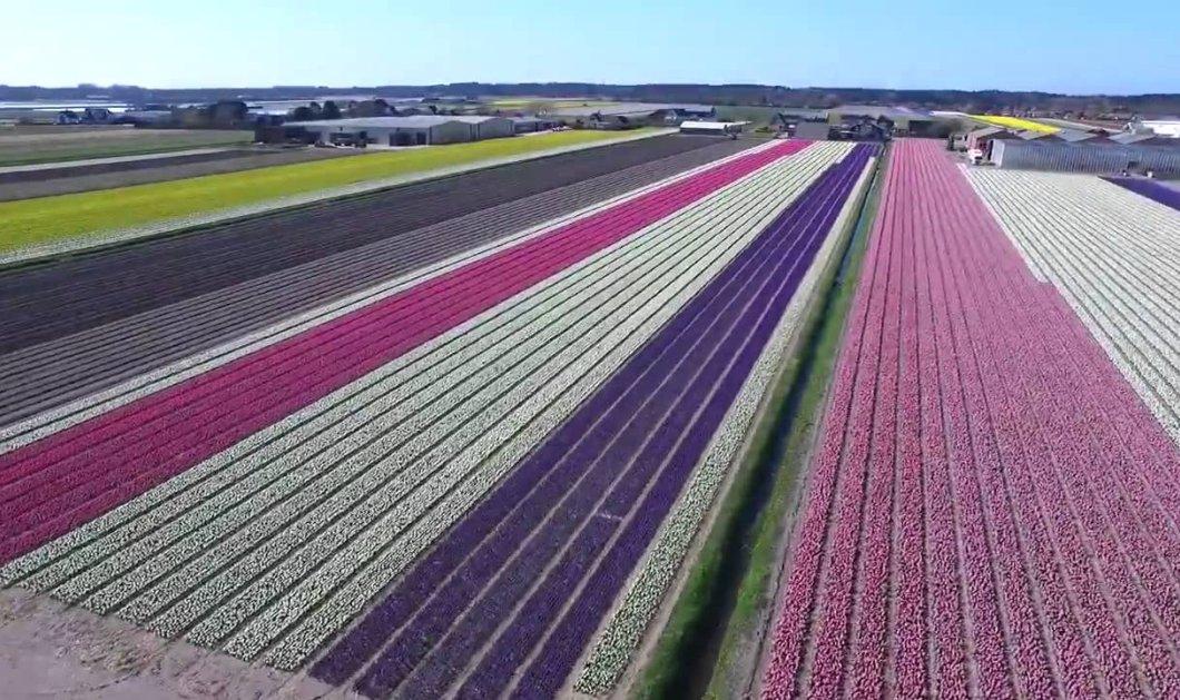 Καλημέρα! Πάμε να πετάξουμε με drone πάνω από τις τουλίπες της Ολλανδίας - 1 λεπτό ομορφιάς - Κυρίως Φωτογραφία - Gallery - Video