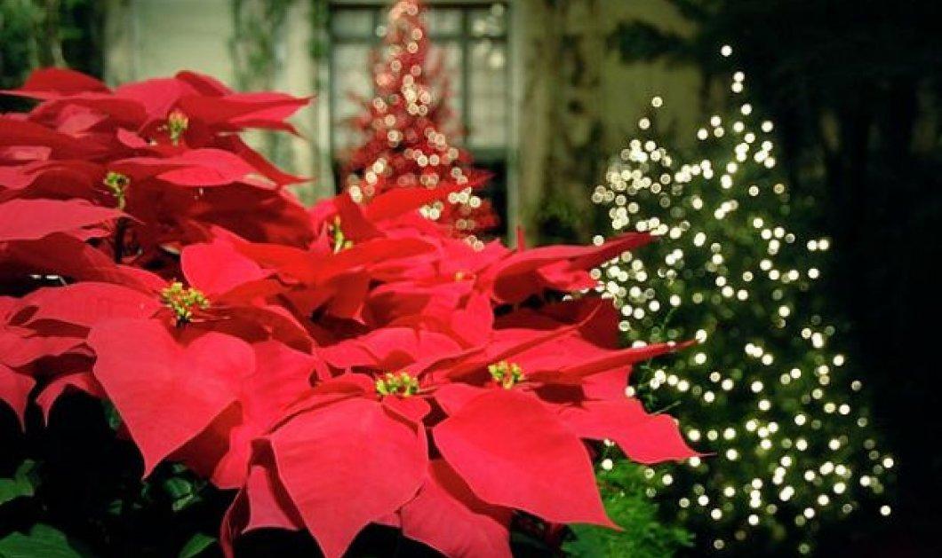 Παραμυθένιες ιδέες για διακόσμηση με τα πιο γιορτινά λουλούδια: Τα Αλεξανδρινά! - Κυρίως Φωτογραφία - Gallery - Video