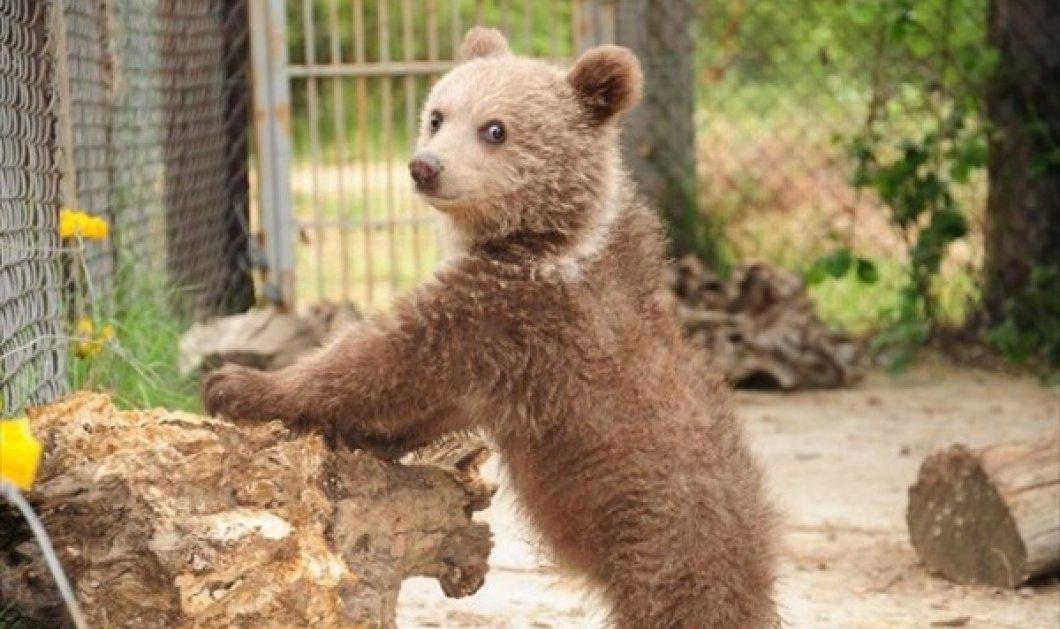 H Ζωή ελεύθερη στη φύση: Δείτε το συγκλονιστικό βίντεο με την επιχείρηση απελευθέρωσης μιας ορφανής αρκούδας από την ομάδα ΑΡΚΤΟΥΡΟΣ! - Κυρίως Φωτογραφία - Gallery - Video