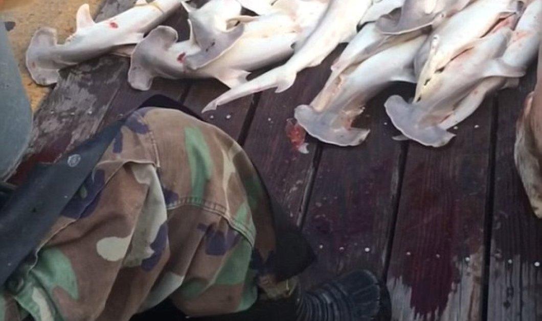 34 καρχαριάκια  έβγαλαν ψαράδες από την κοιλιά  εγκύου μεγαλοκαρχαρία 376 κιλών - Κυρίως Φωτογραφία - Gallery - Video