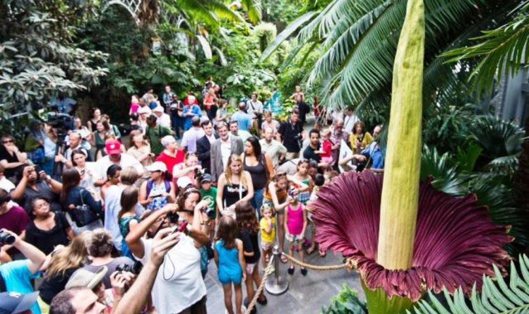 Το μεγαλύτερο λουλούδι του κόσμου άνθισε σε πάρκο του Τόκιο - Έχει δύο μέτρα ύψος - Κυρίως Φωτογραφία - Gallery - Video