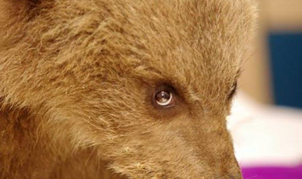 Δείτε φωτό & βίντεο - Δύο νεογέννητα ορφανά άγρια ζώα, ο Ushko και ο Ρώμος στον ΑΡΚΤΟΥΡΟ  - Κυρίως Φωτογραφία - Gallery - Video