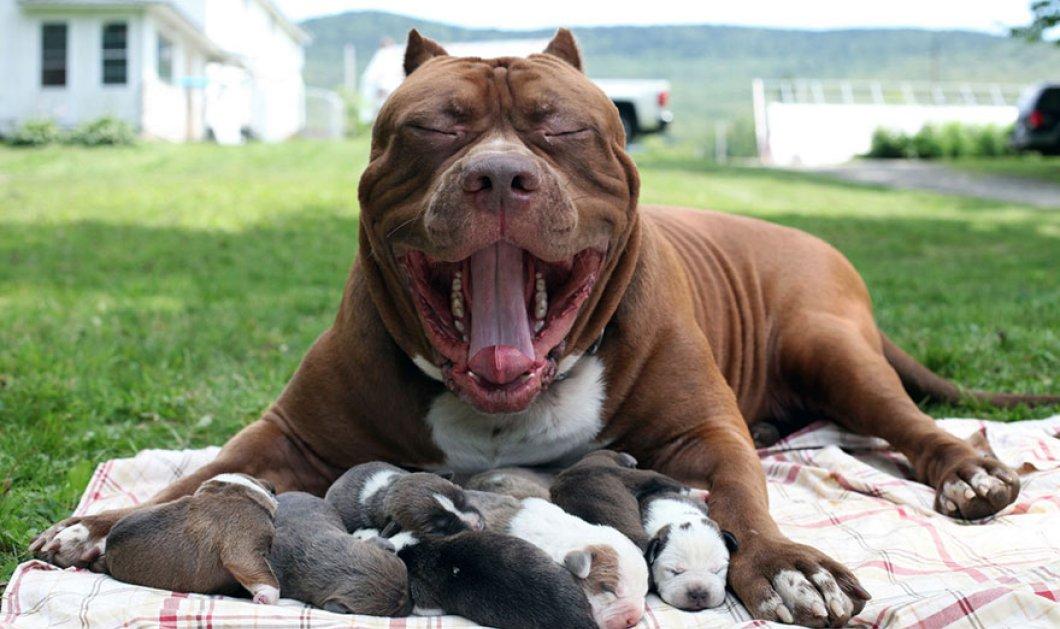 Φώτο: Το μεγαλύτερο pitbull του κόσμου γέννησε 8 σκυλάκια αξίας  μισό εκ. δολάρια το καθένα - Κυρίως Φωτογραφία - Gallery - Video
