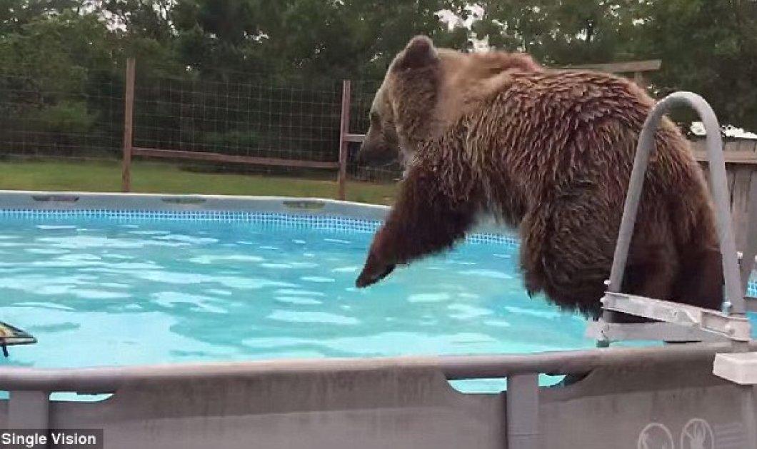Βίντεο: Μια αρκούδα κάνει μπάνιο..στην πισίνα και μετά λιάζεται   - Κυρίως Φωτογραφία - Gallery - Video