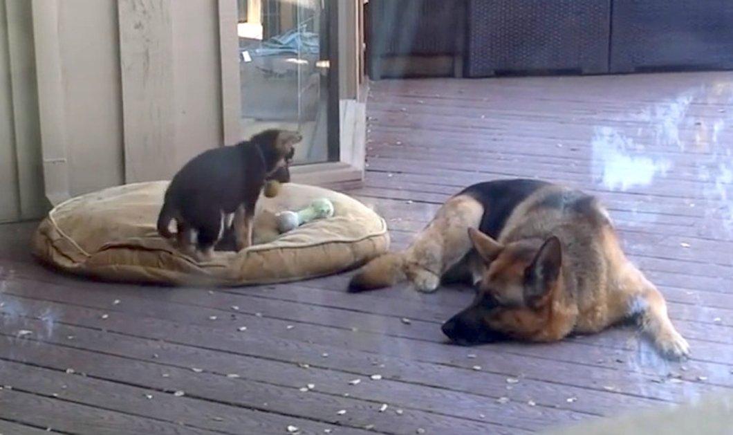 Βίντεο: Φοβερή μαμά σκυλίτσα που προσέχει το μικρό της όταν παίζει! - Κυρίως Φωτογραφία - Gallery - Video