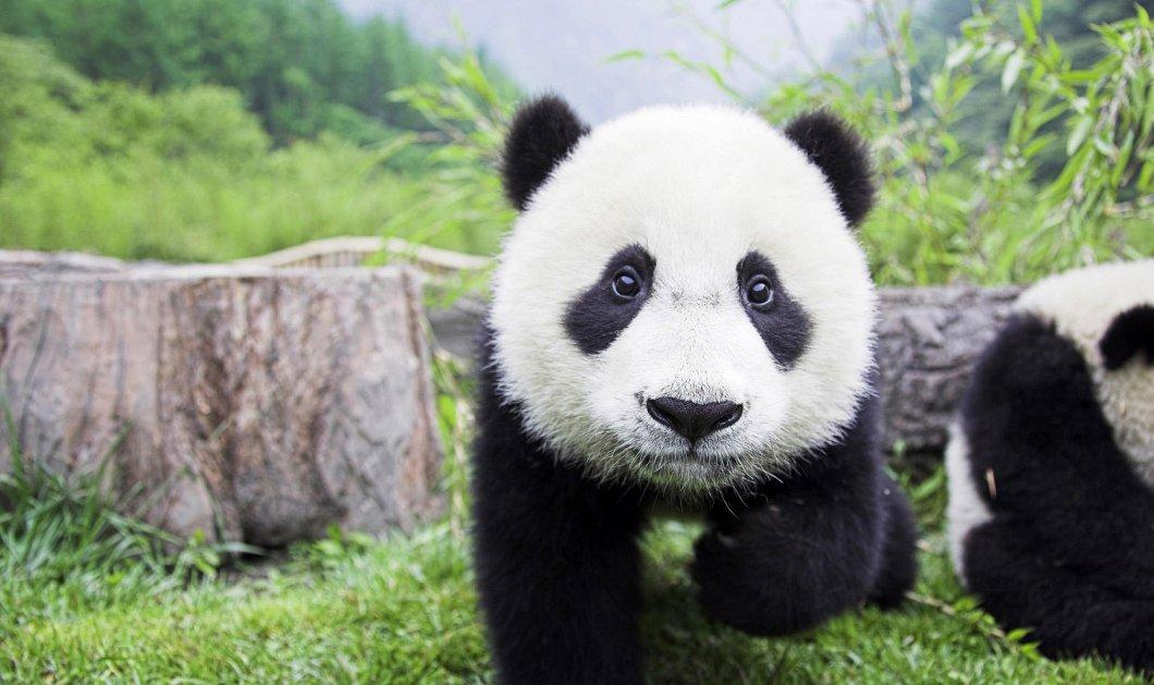 Σπάνια γεννητούρια! Γιγάντιο πάντα γέννησε δίδυμα στον ζωολογικό κήπο της Ουάσινγκτον - Κυρίως Φωτογραφία - Gallery - Video