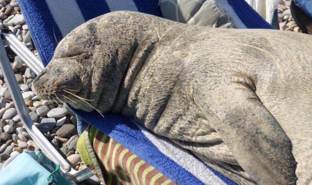Σάμος: Η φώκια που λατρεύει τις ξαπλώστρες στην παραλία επέστρεψε & λιάζεται - Φώτο    - Κυρίως Φωτογραφία - Gallery - Video