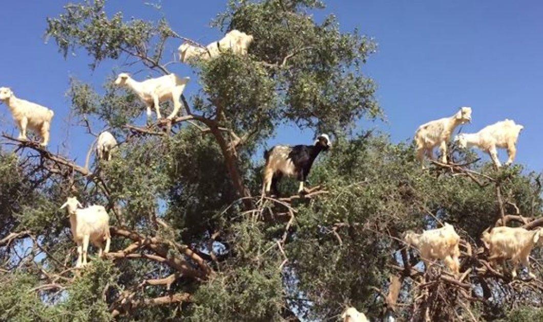 Βίντεο: «Ιπτάμενες» σαν πτηνά κατσίκες βόσκουν πάνω στο δέντρο! Καλημέρα σας - Κυρίως Φωτογραφία - Gallery - Video
