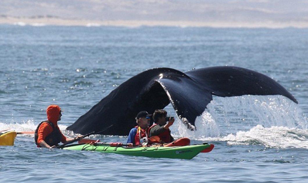 Βίντεο: Η απίστευτη βουτιά της φάλαινας - Βρέθηκε σχεδόν πάνω από το καγιάκ - Κυρίως Φωτογραφία - Gallery - Video