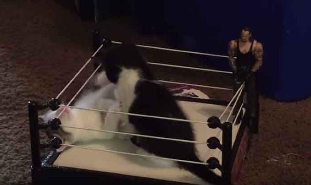 Βίντεο: Ένα Ρινγκ μόνο για γάτες - Δείτε την μεγάλη μονομαχία νιάουυυ   - Κυρίως Φωτογραφία - Gallery - Video