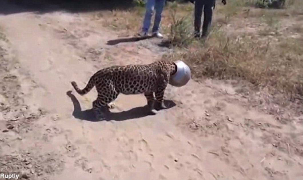 Διψασμένη λεοπάρδαλη «κόλλησε» σε δοχείο (βίντεο) - της το αφαίρεσαν αφού έκαναν στο ζώο αναισθησία  - Κυρίως Φωτογραφία - Gallery - Video