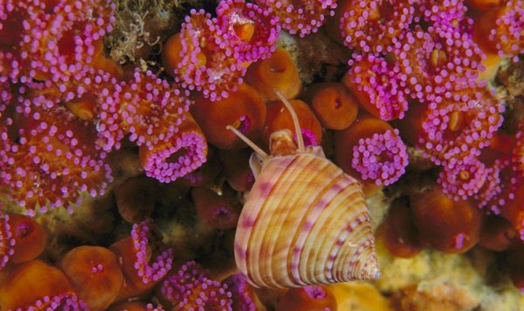Μήπως στις θαλάσσιες ανεμώνες κρύβεται το μυστικό της αιώνιας ζωής; Ας μάθουμε γιατί - Κυρίως Φωτογραφία - Gallery - Video