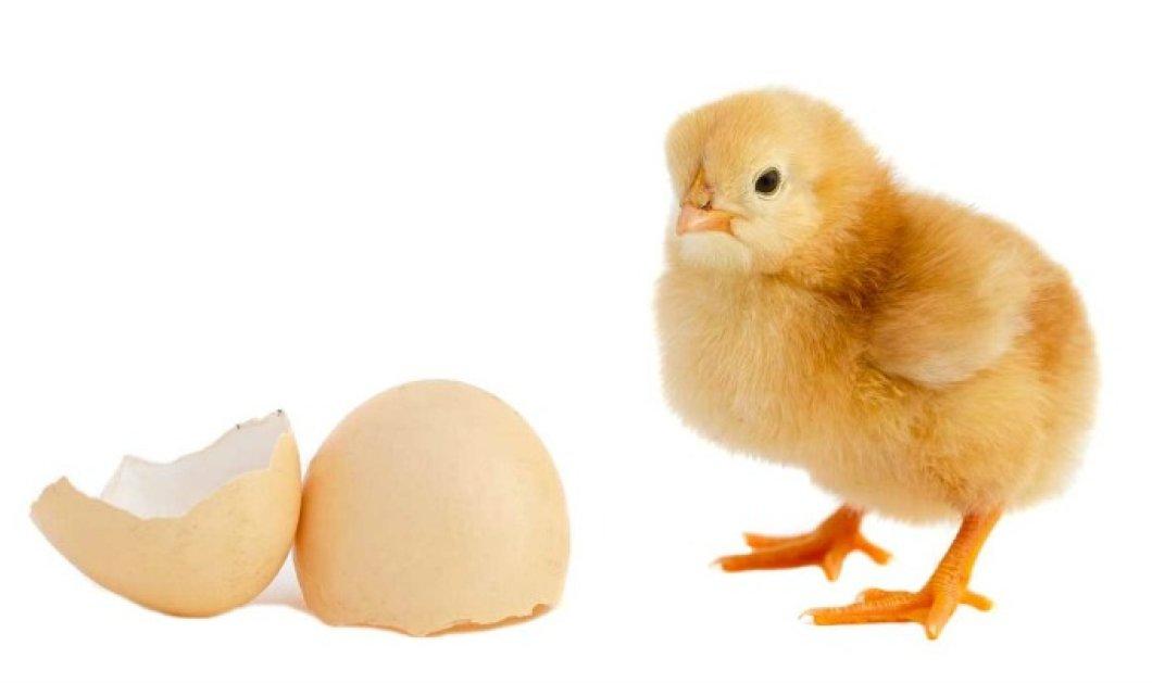 Βίντεο: Δείτε επιτέλους αν η κότα έκανε το αυγό ή... - Κυρίως Φωτογραφία - Gallery - Video
