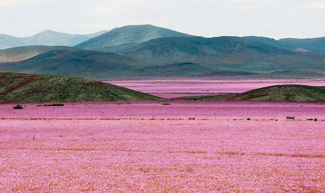 To θαύμα της φύσης σε 10 μοναδικά κλικς - Η μεγαλύτερη έρημος του κόσμου γέμισε λουλούδια μετά από βροχή - Κυρίως Φωτογραφία - Gallery - Video