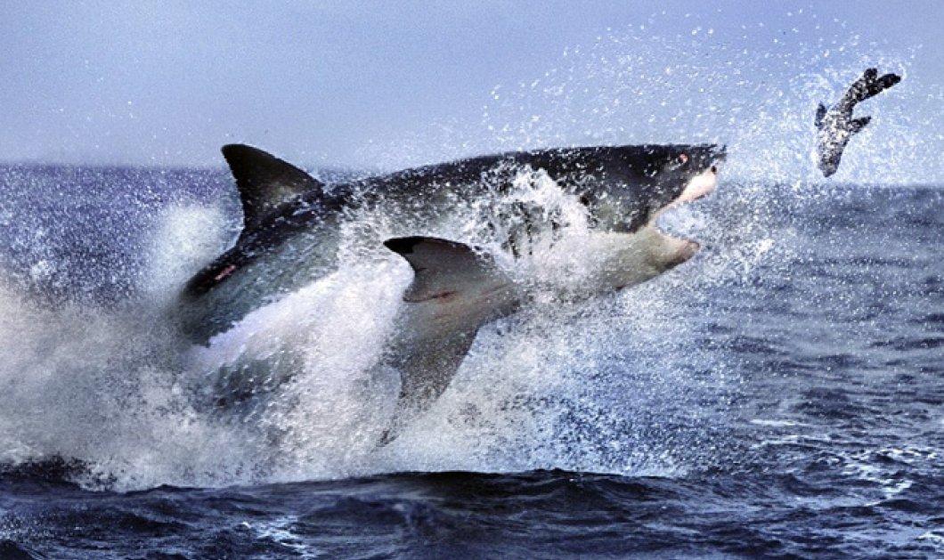Βίντεο: Λευκός καρχαρίας καταβροχθίζει φώκια μπροστά στα μάτια τουριστών - Κυρίως Φωτογραφία - Gallery - Video