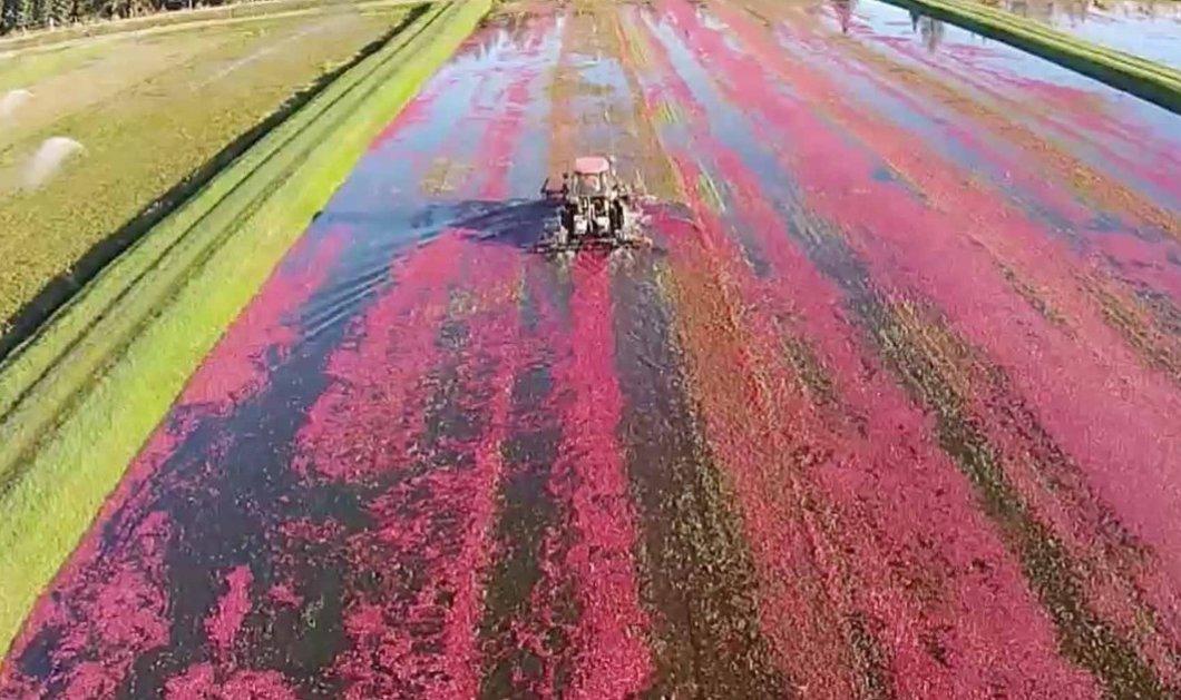 Δείτε τη συγκλονιστική ''κόκκινη'' συγκομιδή των cranberries - Μια θάλασσα από το θαυματουργό φρούτο (βίντεο)  - Κυρίως Φωτογραφία - Gallery - Video