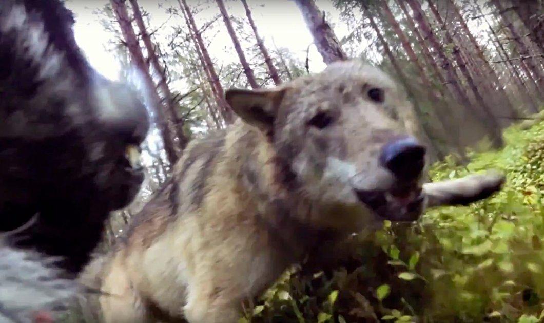 Βίντεο: Δείτε τη μάχη ενός σκύλου με δύο λύκους σε δάσος της Σουηδίας  - Κυρίως Φωτογραφία - Gallery - Video