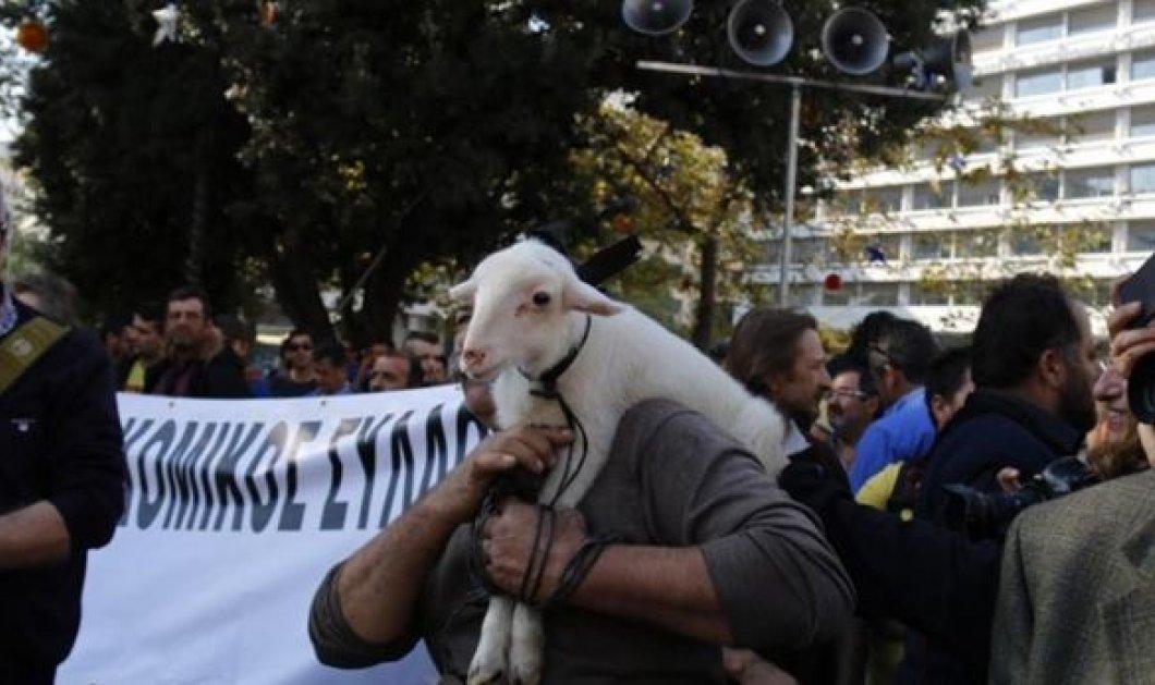 Μικρός Αλέξης λέγεται  το αρνάκι - μασκότ στο σημερινό συλλαλητήριο στο Σύνταγμα - Κυρίως Φωτογραφία - Gallery - Video