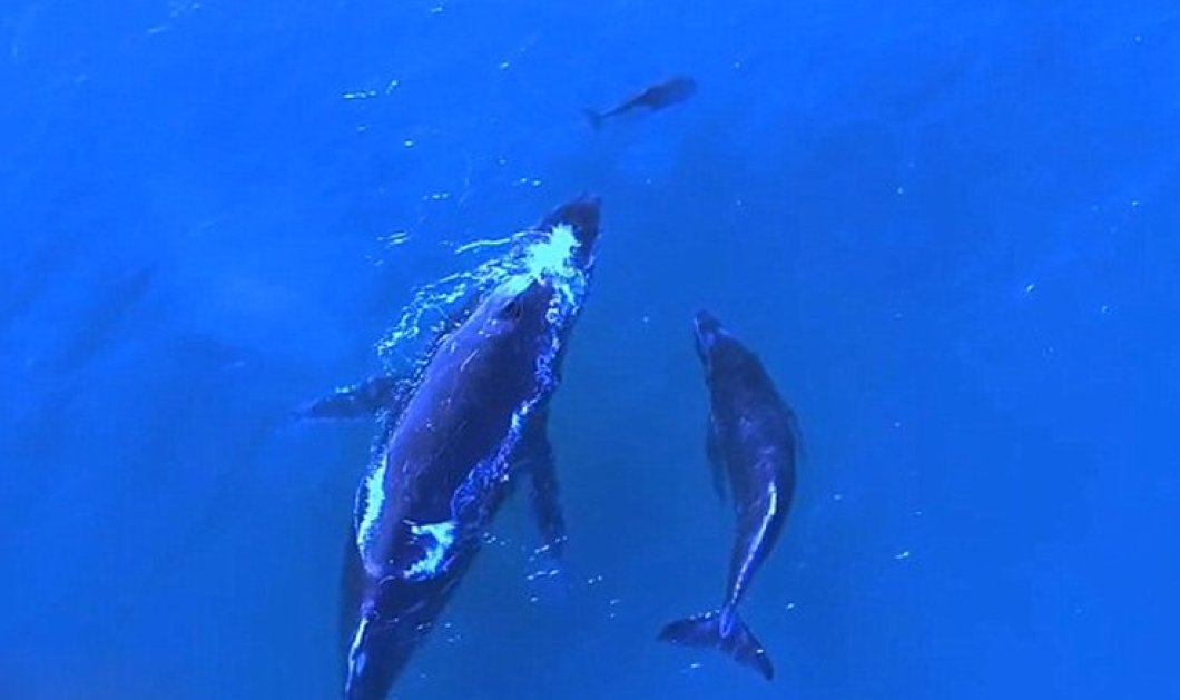 Drone - βίντεο για τον πρωινό σας διαλογισμό: Φάλαινα και δελφινούλα κολυμπούν με τα μωρά τους παρέα - Κυρίως Φωτογραφία - Gallery - Video