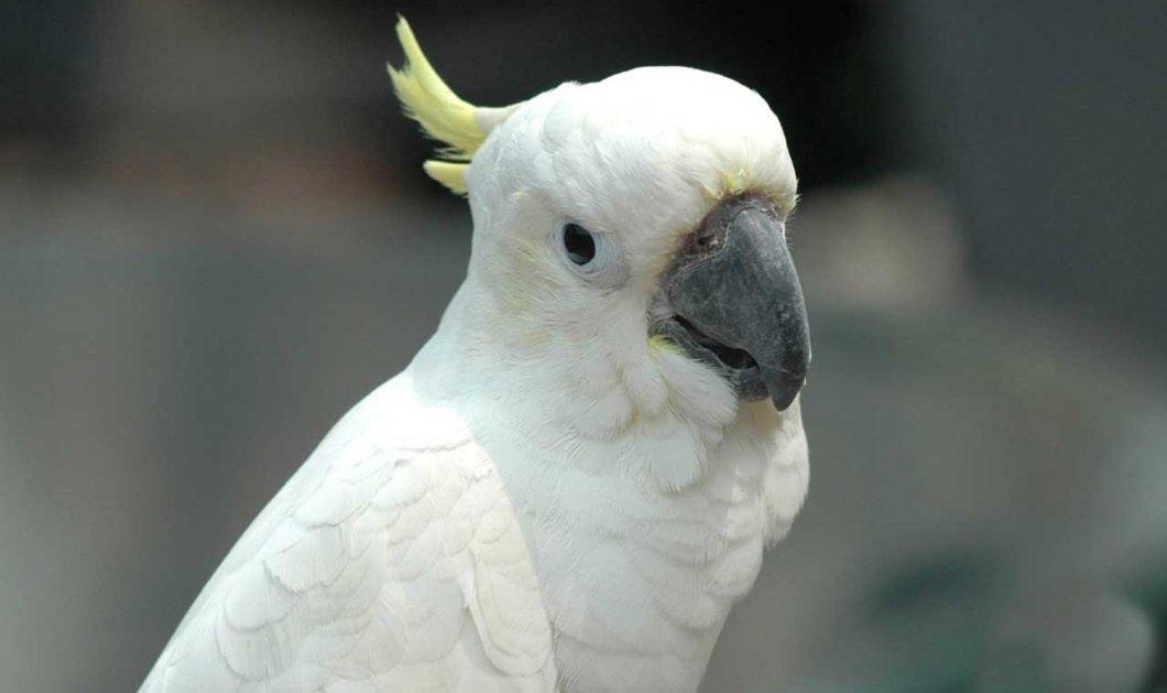 Ραγίζει καρδιές ο Παπαγάλος που έχασε όλα του τα φτερά από το στρες! Δείτε το βίντεο με την ιστορία του περήφανου πτηνού - Κυρίως Φωτογραφία - Gallery - Video